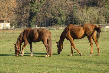 Monza park: horses at pasture