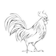 Rooster. Black and ink white sketch. Line illustration