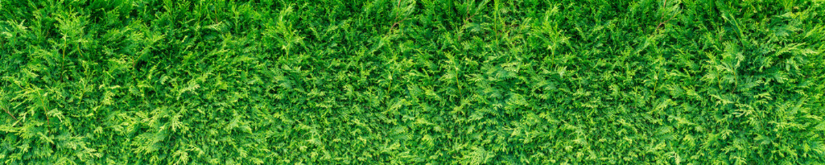 Green thuja hedge Wall mural