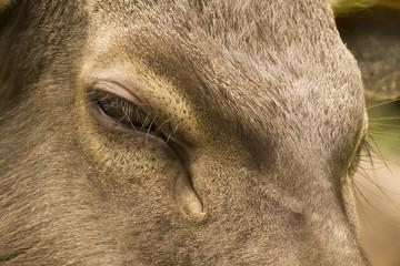 Close up Samba Deer