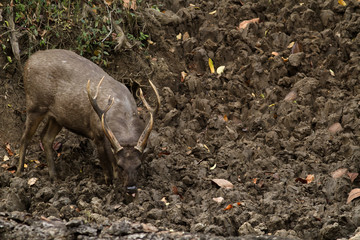 This picture shows am image of  Sambar deer, feeding on a salt lick