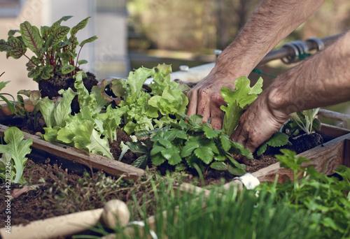 Pflucksalat Im Hochbeet Am Balkon Anpflanzen Stockfotos Und