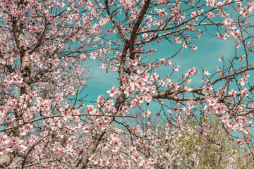 Almond trees in bloom in Spain