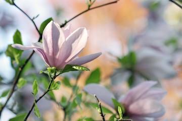 Pink magnolia flowers 2
