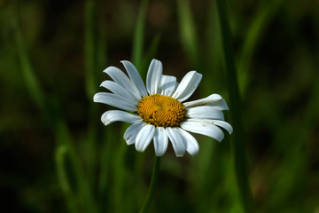 A chamomile flower growing on a summer meadow.