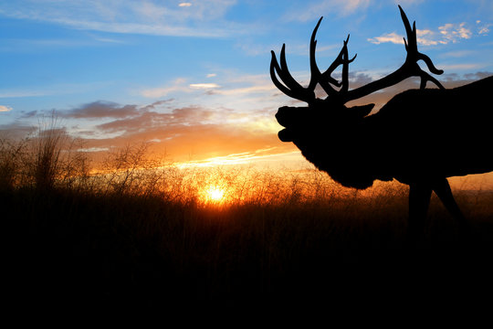 A bugling bull elk against a sunset