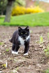 schwarzweiße Dorfkatze läuft über das Feld