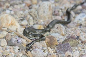 Snake crawling on rocks