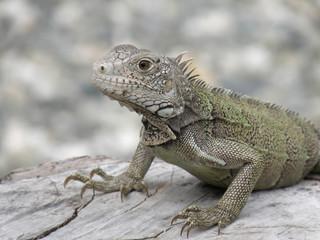 Amazing Posing Gray Iguana Perched on a Log