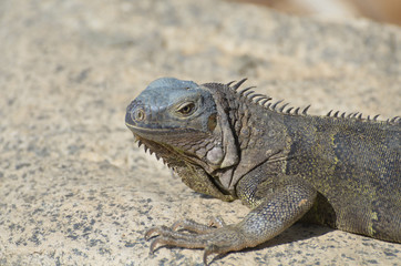 Fantastic Gray Iguana with Spines Along His Back