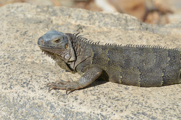 Gray Iguana with Long Talons Sitting on a Rock