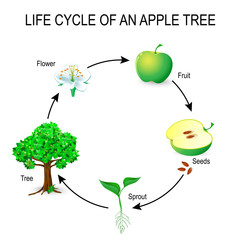 life cycle of an apple tree.