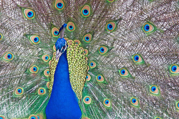 Indian Peacock displays its train as part of their seasonal mating ritual.