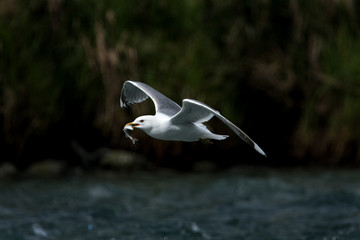 common gull, larus canus, Alaska