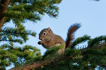 american red squirrel, tamiasciurus hudsonicus, Alaska