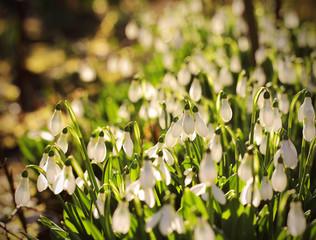 Подснежники цветы растут на поляне утром весной