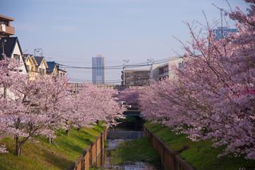 住宅地に咲く満開の桜
