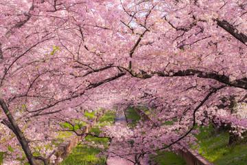 小川沿いに咲く満開の桜
