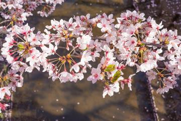 満開の桜 クローズアップ