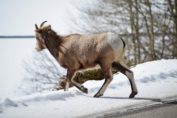 Mountain goat in National Park walk away from road