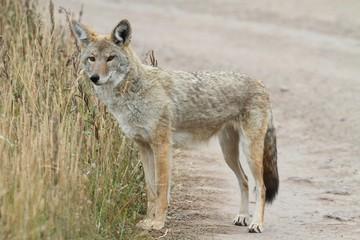 Fotoväggar - Western Coyote (Canis latrans)