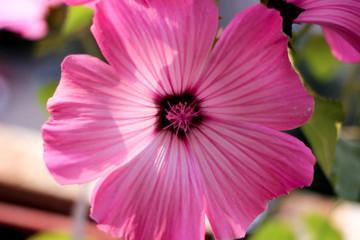 pink flower, flower closeup, Petunia, pink petals