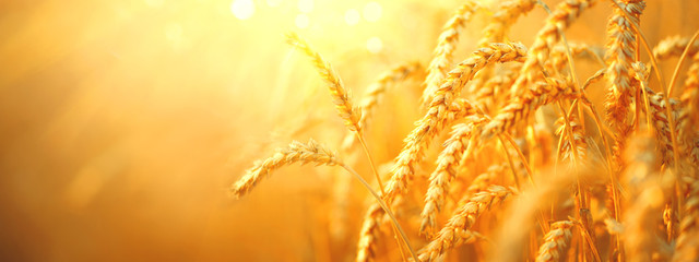 Wheat field. Ears of golden wheat closeup. Harvest concept Wall mural