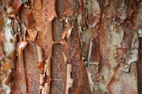 Paperbark Maple Bark Texture