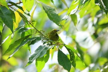 Green iora (Aegithina viridissima) in Sabah, Borneo