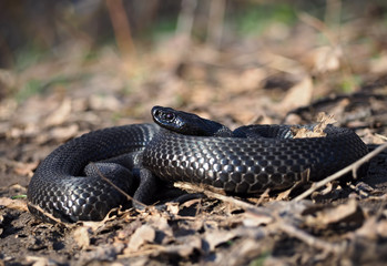 Black snake at the forest at the leaves  view from right side