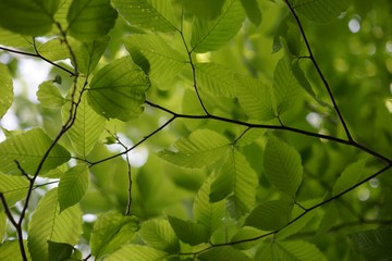 Fresh alder leaf background, view from below the tree