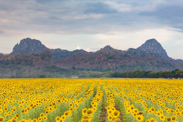 Big sunflower field with mountain background, natural landscape background