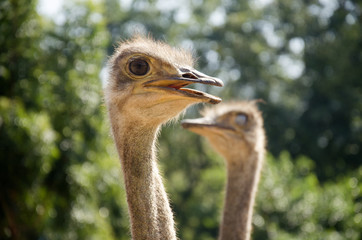 Ostriches or common ostrich or Struthio camelus relax in farm at outdoor