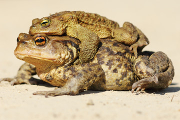 Bufo toads mating in spring