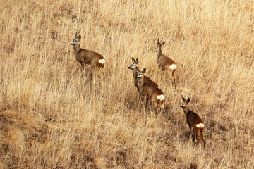 roe deers in faded grass