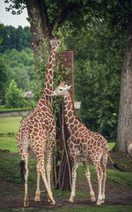 Giraffe couple feeding