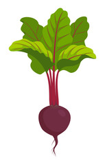 beet isolated on white vector illustration
