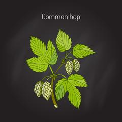 Common hop branch
