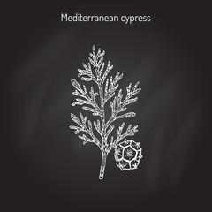 Vector cypress sprig