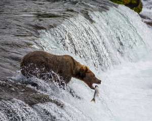 Grizzly Bear Catching a Jumping Salmon Fish in its Mouth