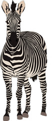 Portrait of a hartmann mountain zebra, standing and looking to viewer, hand drawn vector illustration isolated on white background