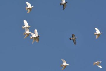 Tauben üben Formationsflug