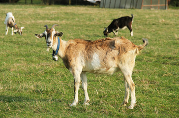 light brown goat with a bell on its neck