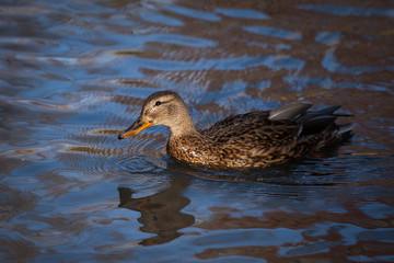 Beautiful duck