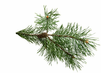 Branch of pine with cones isolated