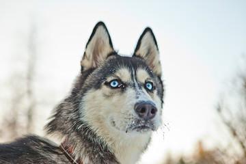 Husky racing portrait