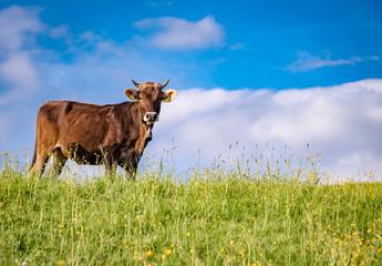 Fototapete - Braunvieh Rind stehen auf einer Bergwiese im Sonnenlicht