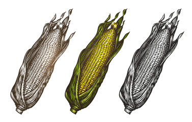 Hand drawn corn. Food sketch. Vector illustration