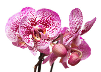 Branch of pink orchid flowers with buds isolated on white background. Flat lay, top view