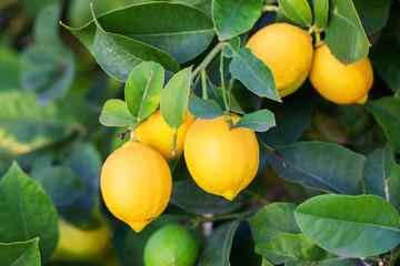 Lemon Fototapete